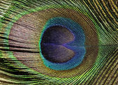 Peacock feather background — Stock Photo