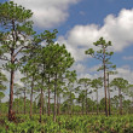 Pinelands Landscape — Stock Photo