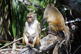 Rheses Monkey along the Silver River — Stock fotografie