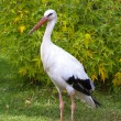 Stork in its natural habitat — Stock Photo