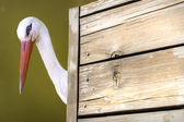 Stork near a wooden board — Stock Photo