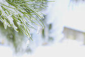 Branch of the Christmas with the snow — Photo