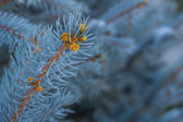Grenar av blue spruce — Stockfoto