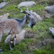 Markhor goat — Stock Photo