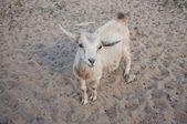 Pygmy goatling — Zdjęcie stockowe