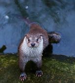 Wild otter in the river portrait view — Stock Photo