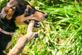 Hunting Terrier dog playing with a stick in the park — Stock Photo