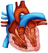 Human heart — Stockvector