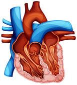 Lidské srdce — Stock vektor