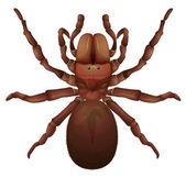 Australian funnel-web spider — Stock Vector
