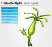 Freshwater hydra — Stock Vector