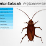 Periplaneta Americana- Cockroach — Stock Vector #14066626