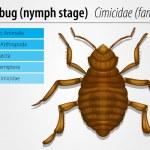 Cimicidae- Bedbug (juvenile) — Stock Vector #14066696