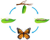 Life cycle - Danaus plexippus — Vector de stock