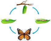 životní cyklus - odraz plexippus — Stock vektor