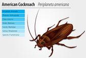 Periplaneta Americana- Cockroach — Stock Vector