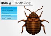 Cimicidae- Bedbug — Stock Vector