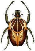 Goliathus regius - Goliath beetle — Stock Vector