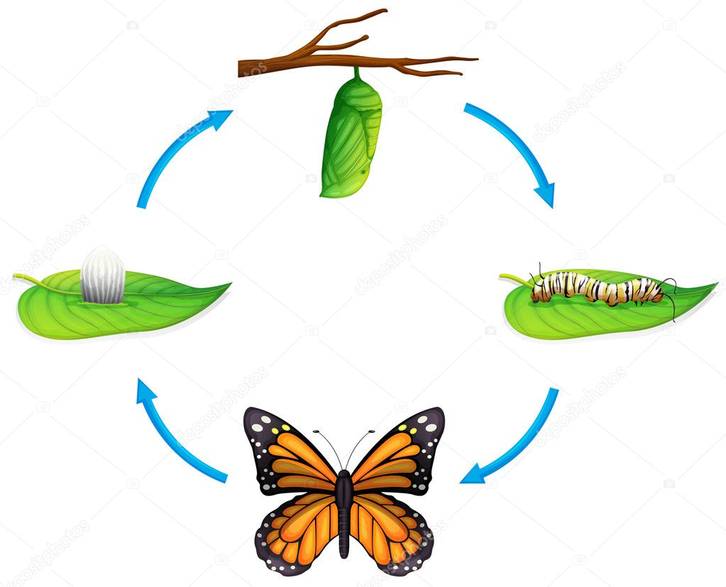 Butterfly Life Cycle Life cycle - danaus plexippus