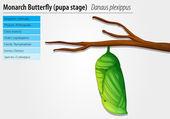 Monarch butterfly - Danaus plexippus - pupa stage — Stock Vector