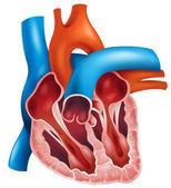 Heart cross-section — Stock Vector
