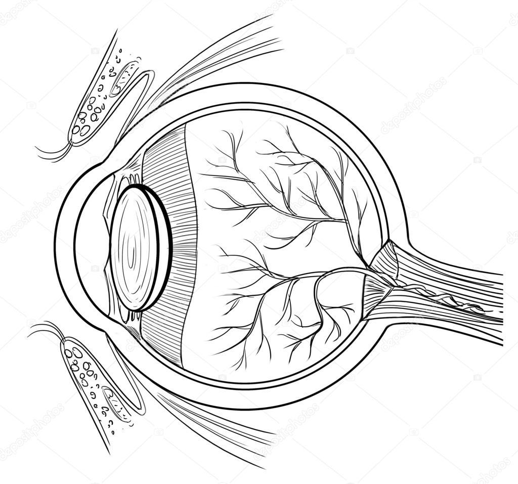 Eyes Anatomy Drawing Human Eye Anatomy — Vector