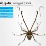 Amblypygi - genus — Stock Vector #14380179