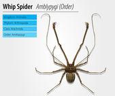 Amblypygi - genus — Stock Vector