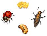 Ladybug life cycle — Stock Vector