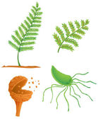 Fern life cycle — Stock Vector