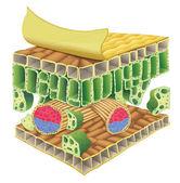 Plant vascular tissue — Stock Vector