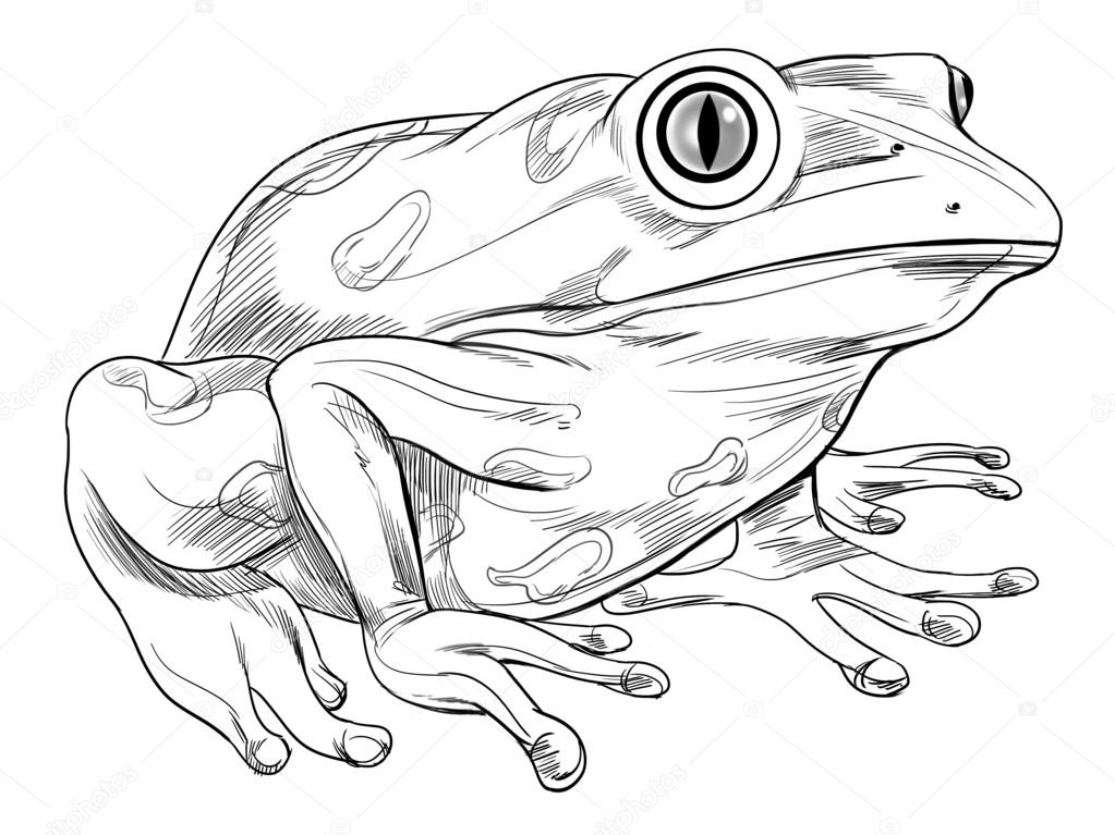 Frog Sketch Drawing Sketch of a Frog — Vector