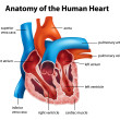 Human Heart Anatomy - Stock Vector