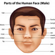 Human face — Stock Vector