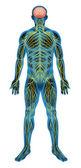 Sistema nervoso humano — Vetor de Stock