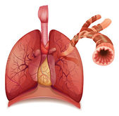 Lungs and bronchus — Stock Vector