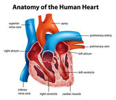 Human Heart Anatomy — Stock Vector