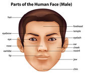 Human face — Stock Vector