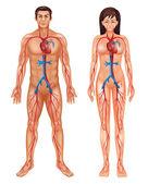 Sistema circulatório humano — Vetor de Stock