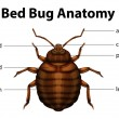 Bed Bug Anatomy — Stock Vector
