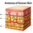 Human skin anatomy — Vector de stock #26395589
