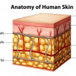 Human skin anatomy - Stockvectorbeeld