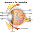 Human eye anatomy — Stock Vector #26395697