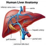 Human Liver Anatomy — Stock Vector