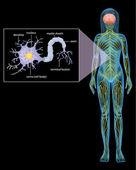 Female Neuron — Stock Vector