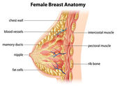 Female Breast Anatomy — Stock vektor