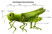 External anatomy of a grasshopper — Stock Vector