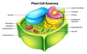 Plant cell anatomy — Stock Vector