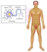 Human Neuron — Stock Vector