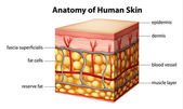 Human skin anatomy — Stock Vector